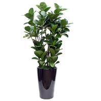 고무나무(특)