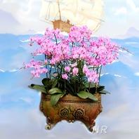 핑크 호접란(고급)♥개업선물 인기상품
