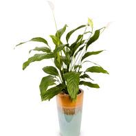 스파트필름(공기정화식물)