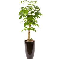 녹보수(대박나무) 고급분