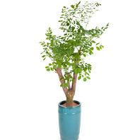 해피트리 행복나무 칼라분