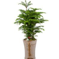 아라우카리아 (공기정화식물)