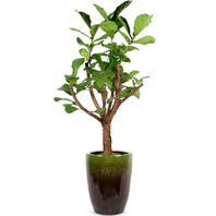 떡갈입 고무나무