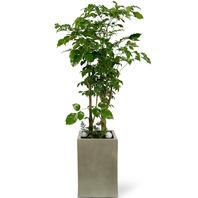 녹보수(대박나무) 시멘트분