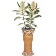 베리제 고무나무