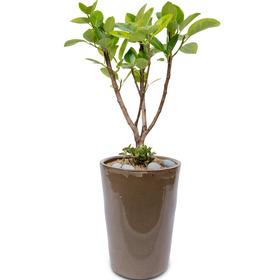 뱅갈고무나무 칼라분