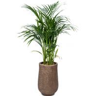 아레카야자 공기정화식물