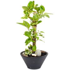 뱅갈고무나무(공기정화식물)