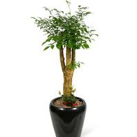 행복나무 검정분(20%할인가)