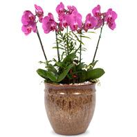 핑크 호접란(승진,개업,선물)
