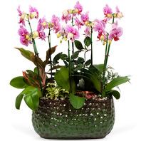 핑크호접란(개업,승진,선물)