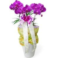 한국산공기정화식물 호접란-고급