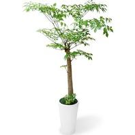 행복나무 백자분(중품)