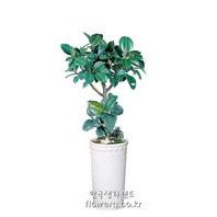 소피아 고무나무