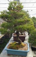 소나무 f1
