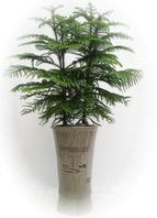 아라우카리아(공기정화식물)
