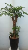 행복나무 칼라분