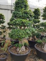 가지마루 괴목분재180cm