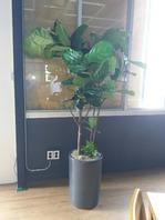 떨갈잎 고무나무 쌍대