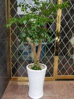해피트리 행복나무(배송상품)
