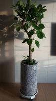 뱅갈고무나무(배송된상품)