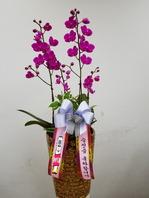 만천홍 칼라분(배송상품)