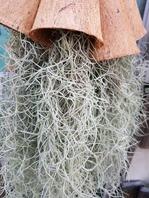 수염 틸란드시아(행잉실물)