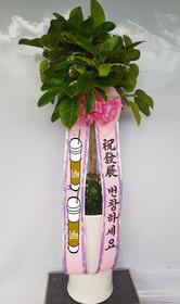 뱅갈고무나무백자분 (배송된상품)
