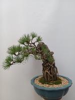 해송소나무 근상