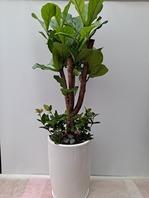 떨갈잎고무나무 백자분