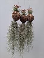 코코넛 수염틸란