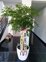 행복나무(특대품)배송된상품