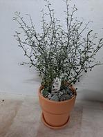 마오리 코로키아(k3)반려식물