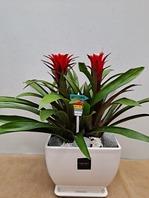 구즈마니아 빨강꽃