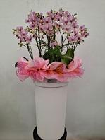 청풍 핑크호접란