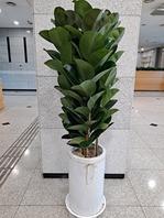 고무나무3대 특대품