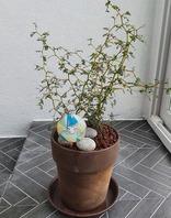 마오리 소포라(반려식물)