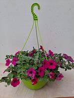 사피니아봄꽃(3개이상 주문가능)