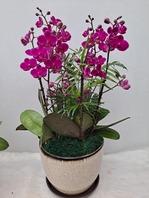 만천홍 꽃5~6대