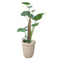 알로카시아 공기정화식물